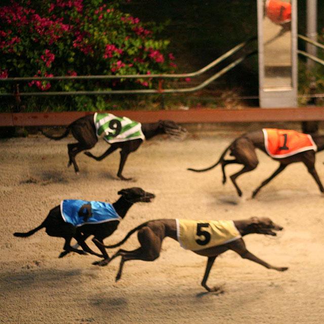 Đua chó tại Vũng Tàu - Trường đua Lam Sơn - Ảnh 3